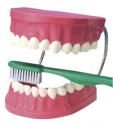 Zahnpflegemodell XXL