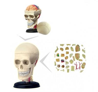 """Anatomiemodell """"Schädel"""""""